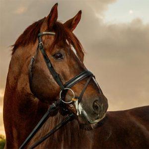 FRH Rassolini (Ret) - (Rubinstein vs Silvano) available for stud at Peridot Equestrian, San Marcos, CA